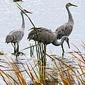 Sandhill Cranes by Kay Novy