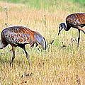 Sandhill Cranes Ll by Kathy Sampson