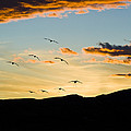 Sandhill Cranes In New Mexico by William H Mullins