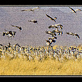 Sandhill Cranes On The Ground by Larry White