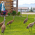 Sandhill Cranes On The Lawn By The Statue Of Mary In Homer-alaska by Ruth Hager