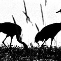 Sandhill Cranes In Silhouette by Ron  Tackett
