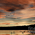 Sandhill Cranes Roosting At Sunset by John Shaw