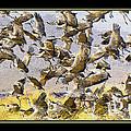 Sandhill Cranes Startled by Larry White
