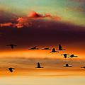 Sandhill Cranes Take The Sunset Flight by Bill Kesler