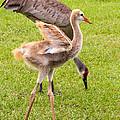 Sandhill Cranes Walking Around by Zina Stromberg