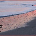 Sandpiper At Sunset Print by Eric  Schiabor