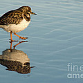 Sandpiper Bird Walking On Water by Rossi I