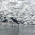 Sandpiper Finds Food In Surf by Jussta Jussta