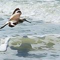 Sandpiper Flight by Susan Molnar