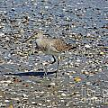 Sandpiper Galveston Is Beach Tx by Lizi Beard-Ward