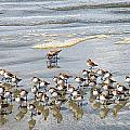 Sandpiper Reflections by Allan Van Gasbeck
