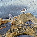 Sandpipers On Coral Beach by Joe Wyman