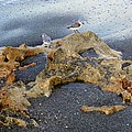 Sandpipers 1 by Joe Wyman