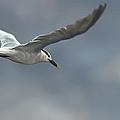 Sandwich Tern by Aaron Blaise