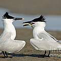 Sandwich Tern Offering Fish by Anthony Mercieca