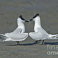 Sandwich Terns by Anthony Mercieca