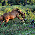 Sandy The Roan Cavorting  - C0094e by Paul Lyndon Phillips
