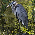 Sanibel Great Blue Heron by Christiane Schulze Art And Photography