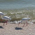 Sanibel Ibis by Christiane Schulze Art And Photography