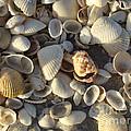 Sanibel Island Shells 3 by Nancy L Marshall