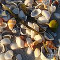 Sanibel Island Shells 4 by Nancy L Marshall