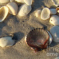 Sanibel Island Shells 5 by Nancy L Marshall