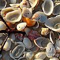 Sanibel Island Shells 6 by Nancy L Marshall