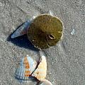 Sanibel Sand Dollar 1 by Nancy L Marshall