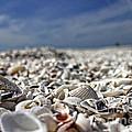 Sanibel Shells by Richard Gripp