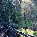 Santa Barbara Eucalyptus Forest II by Kyle Hanson