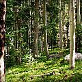 Santa Fe Aspen Woodland Forest by Aaron Burrows