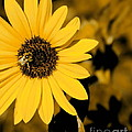 Santa Fe Sunflower 1 by Tim Richards