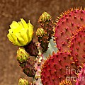 Santa Rita Cactus by Marilyn Smith
