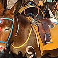 Santorini Donkeys Ready For Work by Colette V Hera  Guggenheim