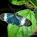 Sapho Longwing Butterfly by Grace Grogan