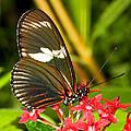 Sapho Longwing Butterfly by Millard H. Sharp