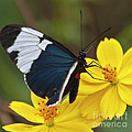 Sapho Longwing Yellow Oriented by Heiko Koehrer-Wagner