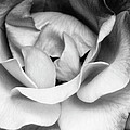 Sapphire Rose Bw Palm Springs by William Dey