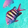 Sargeant Fish by John Malone