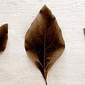 Sassafras Leaves In Sepia by Michelle Calkins
