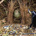 Satin Bowerbird Pair At Bower by Michael and Patricia Fogden