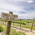 Sauvignon Blanc Grapes Growing In Vineyard by Jit Lim