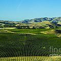 Sauvignon Blanc Vines by Rick Bragan