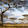 Savanna Acacia Trees  by Chris Scroggins