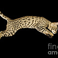 Savannah Cat by Terry Whittaker