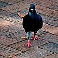 Savannah Pigeon by Tara Potts