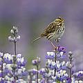Savannah Sparrow And Nootka Lupine by Ingo Arndt