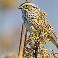 Savannah Sparrow  On A Reed by Bradford Martin