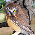 Saw-whet Owl In Conifers by Timothy Flanigan